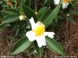 Tree seeds free shipping online shopping - 30 CAMELLIA sinensis Green Tea Seeds Fresh Fragrant Rare chinese tea seeds