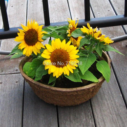 dwarf seeds Canada - Four seasons broadcast viewing balcony pots of dwarf sunflower seeds easy to plant flower seeds 20 seeds