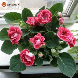 $enCountryForm.capitalKeyWord Canada - Hot Sale Unique Red Gloxinia Seeds Perennial Flowering Plants Sinningia Speciosa Bonsai Balcony Flower - 100 PCS