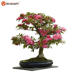 Wholesale Camellia Seeds Potted Plants Garden Flower Seeds Camellia Bonsai Tree Seeds Colors Available particle pack