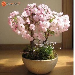 $enCountryForm.capitalKeyWord Canada - Japanese Sakura Seeds Cherry Blossoms Seeds Japanese Cherry Cerasus Yedoensis Biji, Bonsai Flower Seeds Drop Shipping - 10 PCS