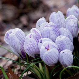 Discount purple perennial flowers purple perennial flowers 2018 on discount purple perennial flowers 100pcs bag bonsai tulip seeds rare purple white feather petals mightylinksfo