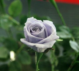 Discount rare beautiful flowers - Rare Beautiful Gray Rose Flower Seeds Home Garden *100 Pieces Seeds Per Package* New Arrival Two Colors Plants Decor Gif