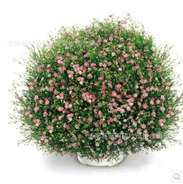 white rose seed wholesalers Australia - 500g beautiful flower seeds Babysbreath white pink rose red colors plant seed for familiy garden balcony