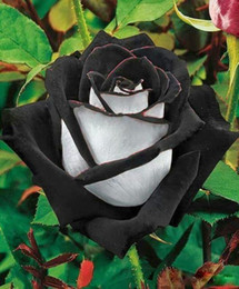 white roses seeds Australia - Fast Shipping Ombre Black Red And White Rose Flower Seeds *100 Seeds Per Package* Balcony Potted Barrier Flowers Garden Plants Cheap