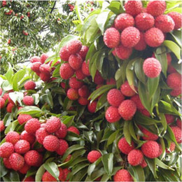 edible fruit seeds UK - Lychee Subtropical Seasonal Fruit Seeds litchi seeds plant Bonsai Rare Sweet edible food for DIY home Garden 5 pcs bag