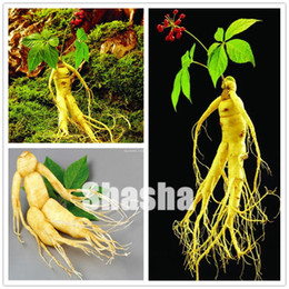 chinese seeds vegetable 2021 - High quatity 20 pcs Chinese Hardy Panax Ginseng seeds Korea Ginseng bonsai King Of Herbs Plants Home High-nutrition Vege