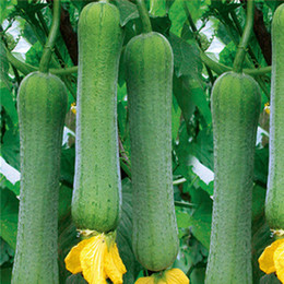 Discount chinese seeds vegetable Suntoday Chinese Green Long Hybrid Luffa Sponge Gourd Seeds Asian Garden Plant Non-GMO Organic Fresh Vegetable Seeds
