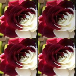 8647add8031 100 unidades baratas raras semillas de flores blancas y rojas rosa Adenium  Obesum flor perennes plantas exóticas jardín de jardín patio de semillas