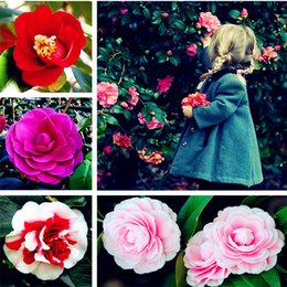 flowers for outdoor pots Australia - Big Sale! 10 Pcs Camellia Seeds, Bonsai Flower Seeds, Rare Color, Indoor   Outdoor Bonsai Pot Plant for Home Garden Easy to Grow