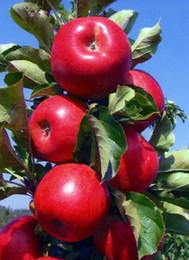 $enCountryForm.capitalKeyWord UK - 10 Pcs Apple Bonsai,Sweet Fruit Bonsai Tree Organic Delicious Four Season Sowing Rare Green Fruit Potted plants Healthy Garden