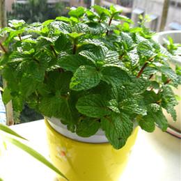 EdiblE gardEning online shopping - 50 bag spearmint mint seeds edible catnip plant flower vegetable seeds bonsai herb seeds for home garden easy grow