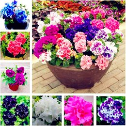 flowers for outdoor pots Australia - 50 Pcs Perennial Petunia Seeds,Flowers Petunia Potted,Outdoor Bonsai Seeds,Natural Growth Petunia Plant Pot for Home Garden
