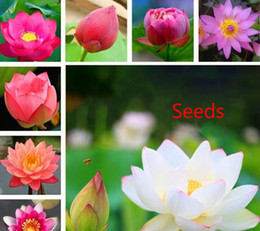 plant potted flower seeds UK - 20 Lotus Seeds Bowl lotus Hydroponic plant seeds Four Seasons Indoor Aquaculture Potted Flowers Water Lily Aquatic