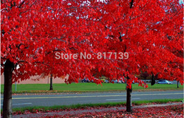 maple trees seeds Canada - New Arrival 20 Seeds Home Garden Plant CAROLINA RED SCARLET MAPLE Tree Acer Rubrum Seeds Free Shipping