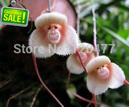 Wholesale Beautiful Monkey face orchids seeds Multiple varieties Bonsai plants Seeds for home garden seeds