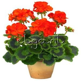 seeds for perennials 2019 - Red Geraniums Flower 20 Seeds Perennial DIY Home Garden Long Time Flowering Plant for Pot Bonsai or Landscape Decoration