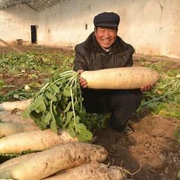 Radishes seeds online shopping - 100pcs Succulent Plant white radish seeds giant vegetable seeds nutrition dishes