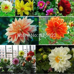 dwarf seeds Canada - Free Shipping Multi-Colored Mini small Dahlia Seeds,bonsai flower plant seeds,Dwarf Dahlia,about 50 particles
