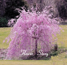 dwarf seeds Canada - 20 pink fountain weeping cherry tree Seeds DIY Home Garden Dwarf Tree Seeds Perennial Free Shipping