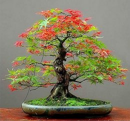 $enCountryForm.capitalKeyWord Canada - Free Shipping 30 seeds pack Maple Feathers Seeds Bonsai Seed The Budding Rate 90% Tree Seeds
