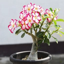 $enCountryForm.capitalKeyWord Canada - 1 PCS Unique Pink Red Edge Desert Rose Seeds Potted Flowers Seeds Ornamental Plants Balcony Adenium Obesum Seeds