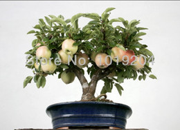 Wholesale Apple Trees UK - 10PC Japanese potted tree seeds, delicious mini apple bonsai tree