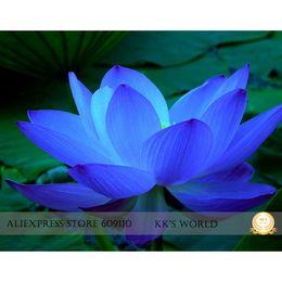 Lotus pLants seeds online shopping - The rarest blue lotus flower seeds Nelumbo Nucifera hybrid strong fragrant garden bonsai flower all seasons planting available