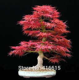 maple trees seeds Canada - Home Garden Plant Bonsai Tree Seeds Acer palmatum Dissectum Crimson Queen Seeds Mini Japanese Red Maple Seeds Semillas Bonsai