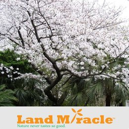 $enCountryForm.capitalKeyWord NZ - 1 Professional Pack, 10seeds   Pack , Japanese cherry blossom Sakura seed oriental cherry Bosai Flower Seed, Bonsai Sakura Tree seeds