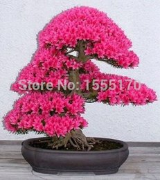 $enCountryForm.capitalKeyWord NZ - Bonsai Tree japanese sakura seeds 20 pcs ,bonsai flower Cherry Blossoms free shipping