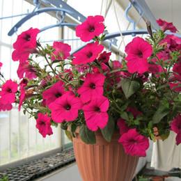 100 pieces pack pink petunia seeds petunia flower seeds garden decoration bonsai flower seeds