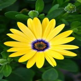 Mix Natural Flower Canada - 100 Pcs bag Mix Rainbow Daisy Seeds chrysanthemum Seeds rare Flower Seeds natural Growth For Home Garden Planting C00501015
