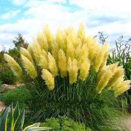 $enCountryForm.capitalKeyWord Canada - 2017 New Cheap 100 pcs bag colorful Pampas Grass Seeds Very Beautiful Garden Plants Bonsai For Home Garden P100212