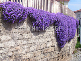 100 Rock Cress,Aubrieta Cascade Purple FLOWER SEEDS, Deer Resistant Superb  Perennial Ground Cover,flower Seeds For Home Garden