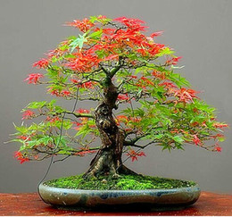 $enCountryForm.capitalKeyWord Canada - Free Shipping 30pcs pack Maple Feathers Seeds Bonsai Seeds The Budding Rate 90% Bonsai Tree Seeds DIY Potted Plant