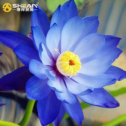 $enCountryForm.capitalKeyWord NZ - A Pack 20 Pcs Treasure Blue Bowl Lotus Seeds Balcony Patio Garden Potted Bonsai Plant Seeds Farm Nelumbo Nucifera Seed