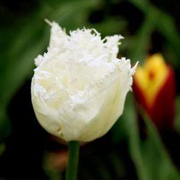 Rare white flowers nz buy new rare white flowers online from best rare white flowers nz 100pcs bag bonsai tulip seeds rare white tassels tulip flower seeds mightylinksfo