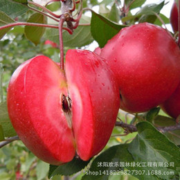 Wholesale Apple Trees UK - Apple red apple fruit love red meat, potted fruit trees can be planted fruit trees 20 Seeds Pack