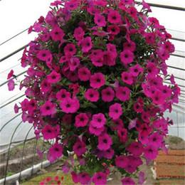 home u0026 garden hanging petunia seedsgarden petunia petunia seeds mixed color 100 seeds lot