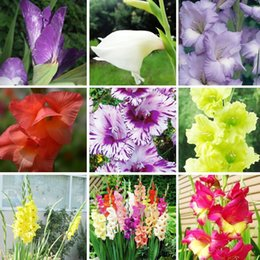 flower gladiolus Canada - Gladiolus Seeds Aerobic Potted Plants Potted Rare sword Lily Seeds Gladiolus Flower Seeds Perennial 100 PCS