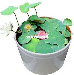 adbeb5e04572 10 pcs (10 colors) bowl lotus flower plants lotus seed plant bonsai Lotus  seeds teach you How to Plant home Garden Free Shipping