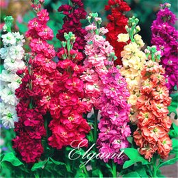 Wholesale Matthiola incana Mixed Color Stock Flower Seeds Great Cut Flower Variety Fragrant Easy growing Bonsai Pot Flower