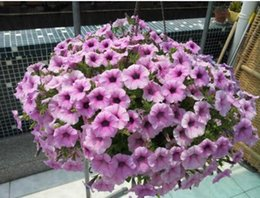hanging petunia potted trailing petunia flower seeds about 50 particles