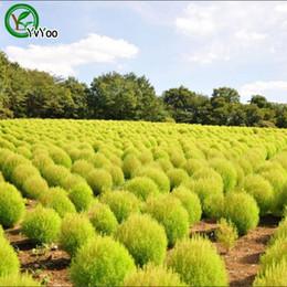 $enCountryForm.capitalKeyWord Australia - Broomsedge Seeds Flower Pot Planters Garden Bonsai Grass Seed 100 Particles   lot Q038