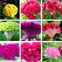 Discount large flower seeds - 100 pcs pack Cockscomb Celosia Crested Seeds Mix Color Flower Easy Growing Large Bloom