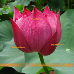 nelumbo seeds UK - Flower Seeds, Pond Plants Lotus Seeds, 1 Seeds pack, Rose Red Nelumbo Nucifera