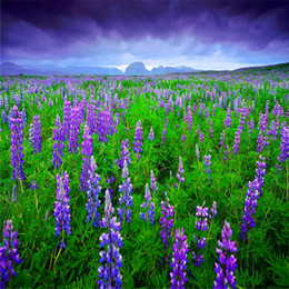 Discount common potted flowers Lupine seeds herb seed garden balcony pot Four Seasons flower seeds garden flowers seeds 15PCS B009