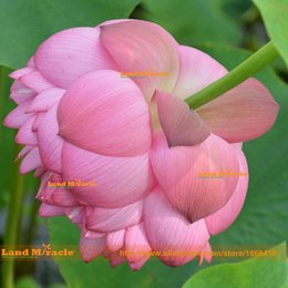 nelumbo seeds UK - Double Pink Red Lotus Seeds, 1 Seeds pack, Water Lily Pad Nymphaea Nelumbo Nucifera Pond Plant Flower