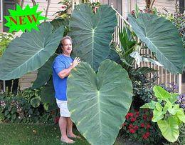 Seed plantS flowerS online shopping - 100pcs Giant Elephant Ear Plant Fresh Colocasia Gigantea Huge Foliage Seeds